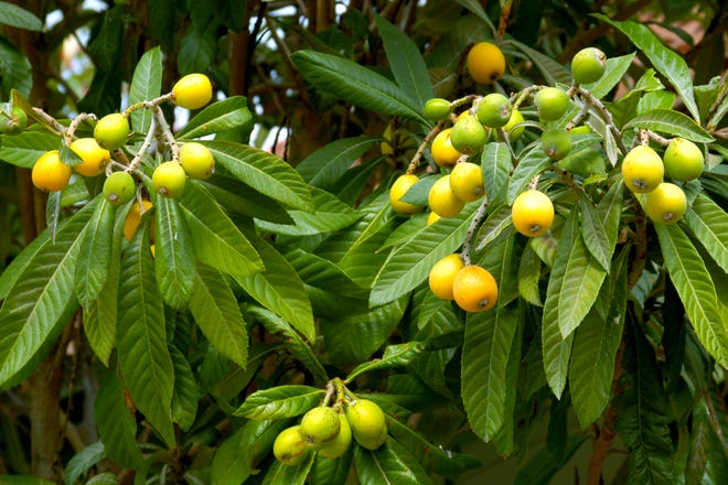 Loquats are beautiful trees, even if they're winter-tender in much of Texas. You should separate those trees before any more time passes this spring.