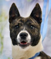 Dakota is a 6-month-old, brindle and white, female Akita mix. She is playful, energetic and is available for adoption at the Wichita Falls Animal Services Center.