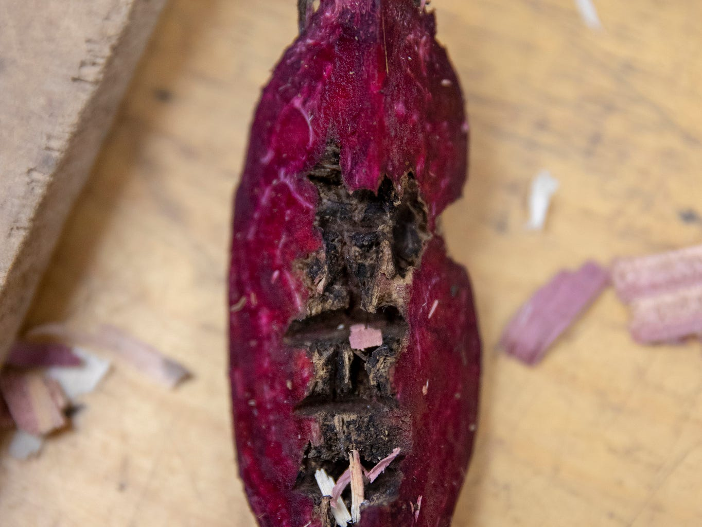 A beet undergoing inspection at the UW Carrot and Beet Lab shows evidence of infection by the fungus Rhizoctonia.