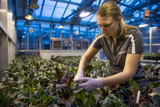 Katharina Wigg, a plant breeding and plant genetics graduate student, inoculates beet plants with Rhizoctonia at UW's Walnut Street Greenhouses as part of a long-term project to develop fungus-resistant beets.