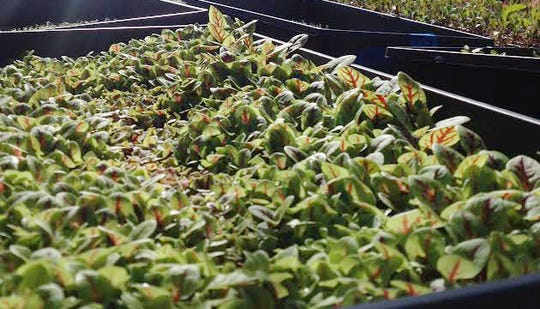 Sorrel can be found at Jake's Farm at Asheville City Market-Winter.