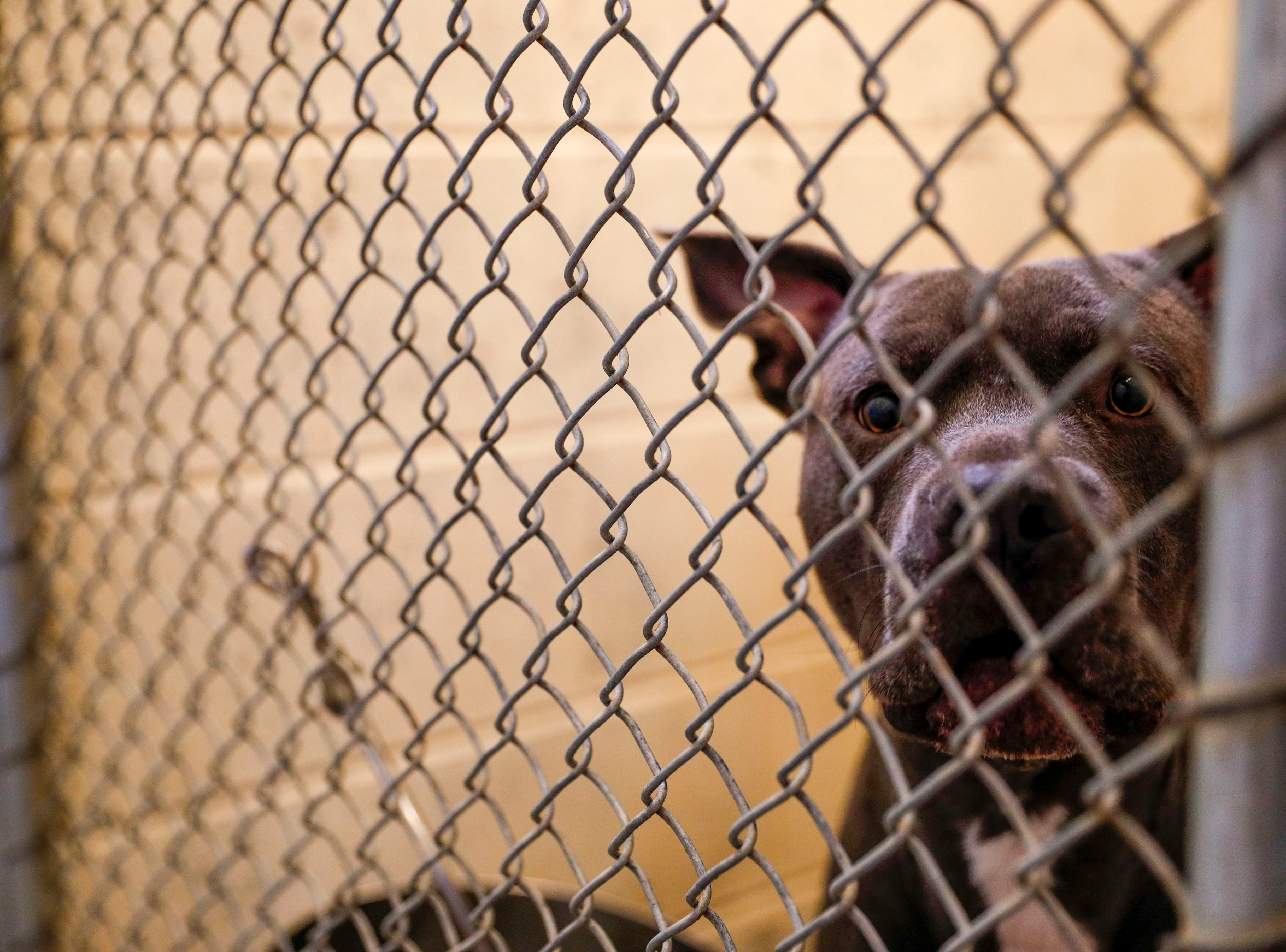Harp, a pit bull terrier, looks out his kennel while awaiting a new family to take him home at Montgomery County Animal Care and Control in Clarksville, Tenn., on Wednesday, March 13, 2019.