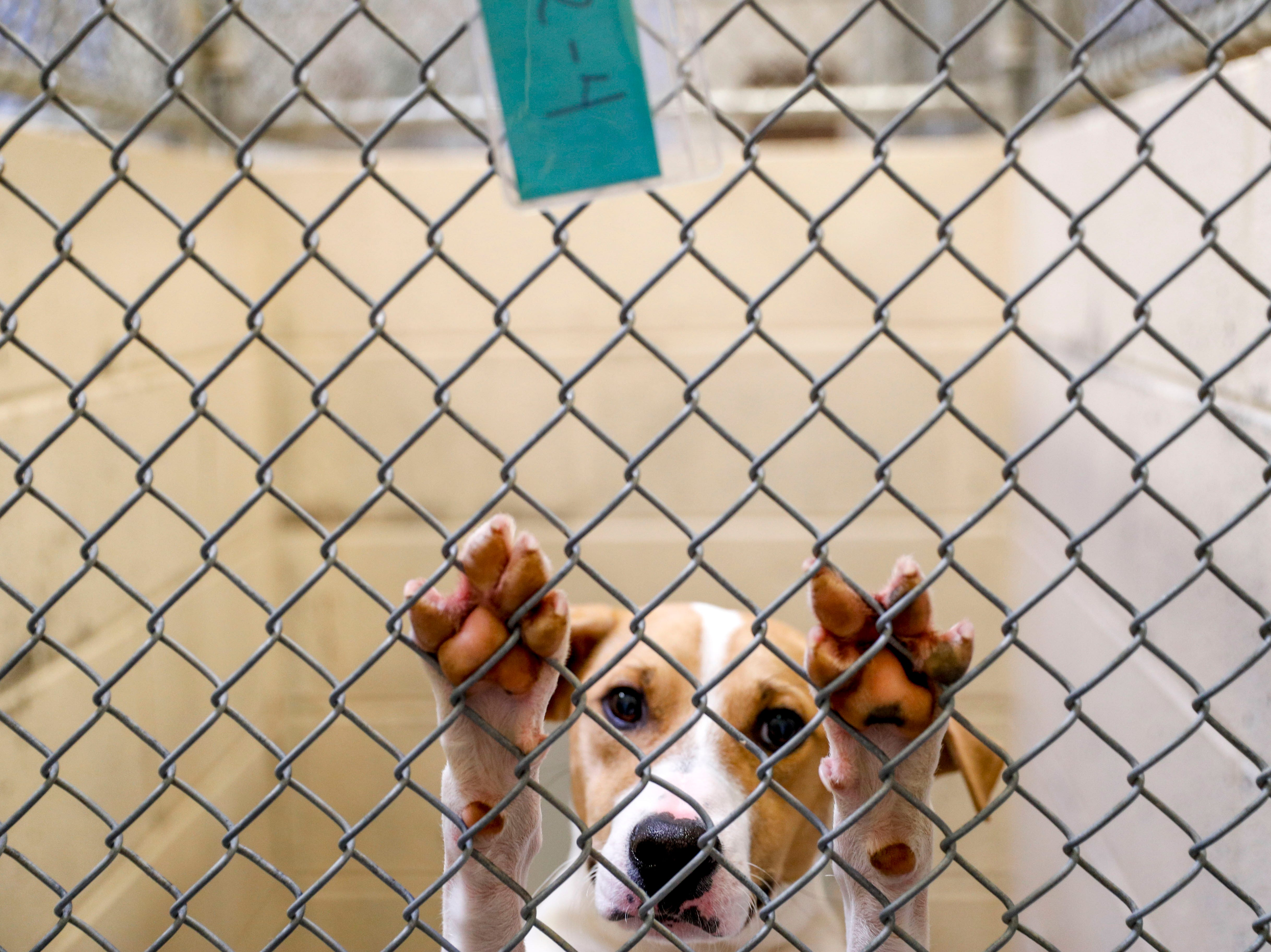 Buddy, a mixed breed, reaches up at the fenced part of his kennel while awaiting a new owner at Montgomery County Animal Care and Control in Clarksville, Tenn., on Wednesday, March 13, 2019.