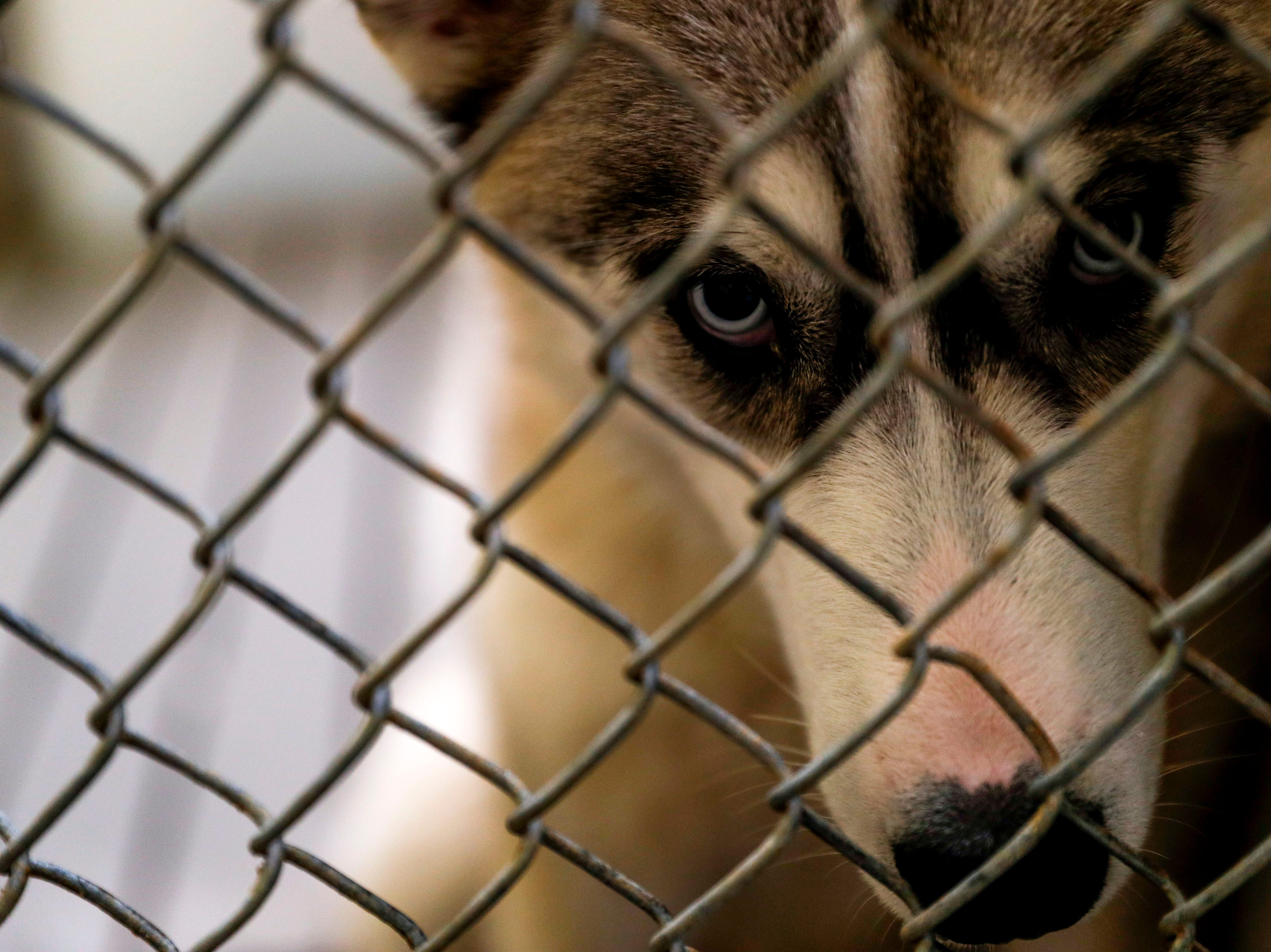 Logan, a Husky, peers out through the cage while waiting for a new owner to take him home at Montgomery County Animal Care and Control in Clarksville, Tenn., on Wednesday, March 13, 2019.