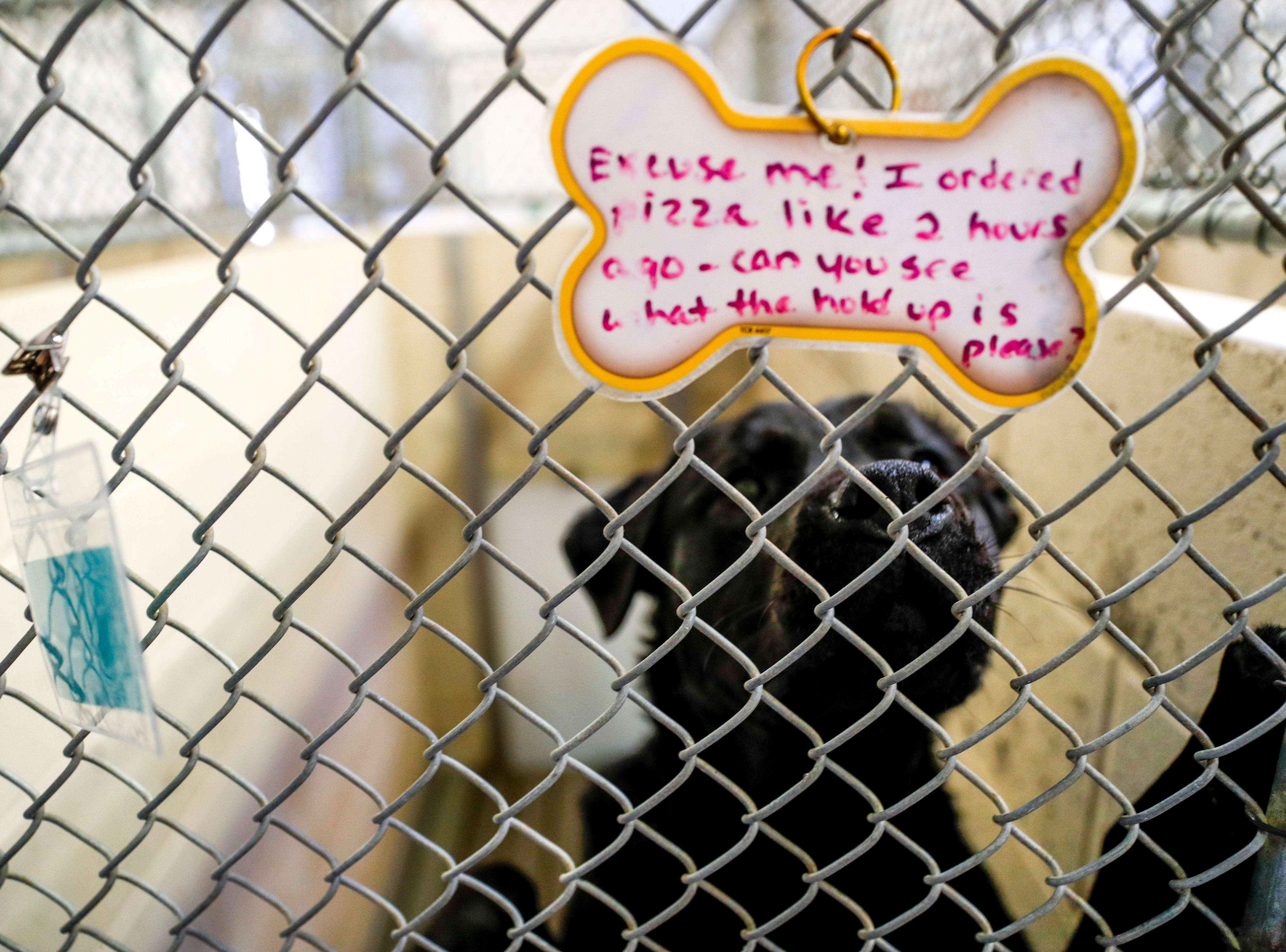 Morgan, a mixed Labrador retriever, jumps up for the camera while waiting for a new owner to take him home at Montgomery County Animal Care and Control in Clarksville, Tenn., on Wednesday, March 13, 2019.