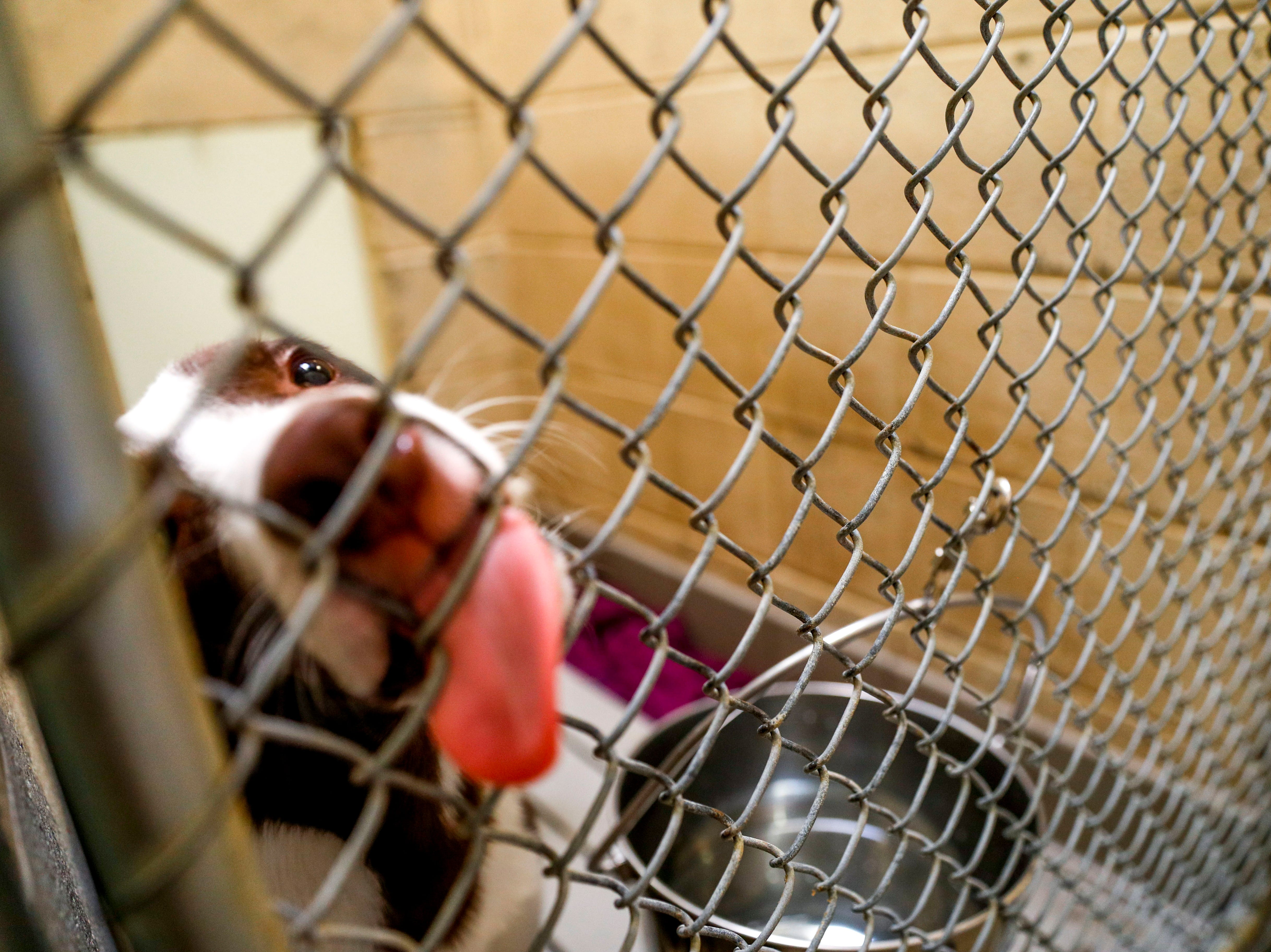 A resident of the kennel reaches out to with their tongue for love at Montgomery County Animal Care and Control in Clarksville, Tenn., on Wednesday, March 13, 2019.