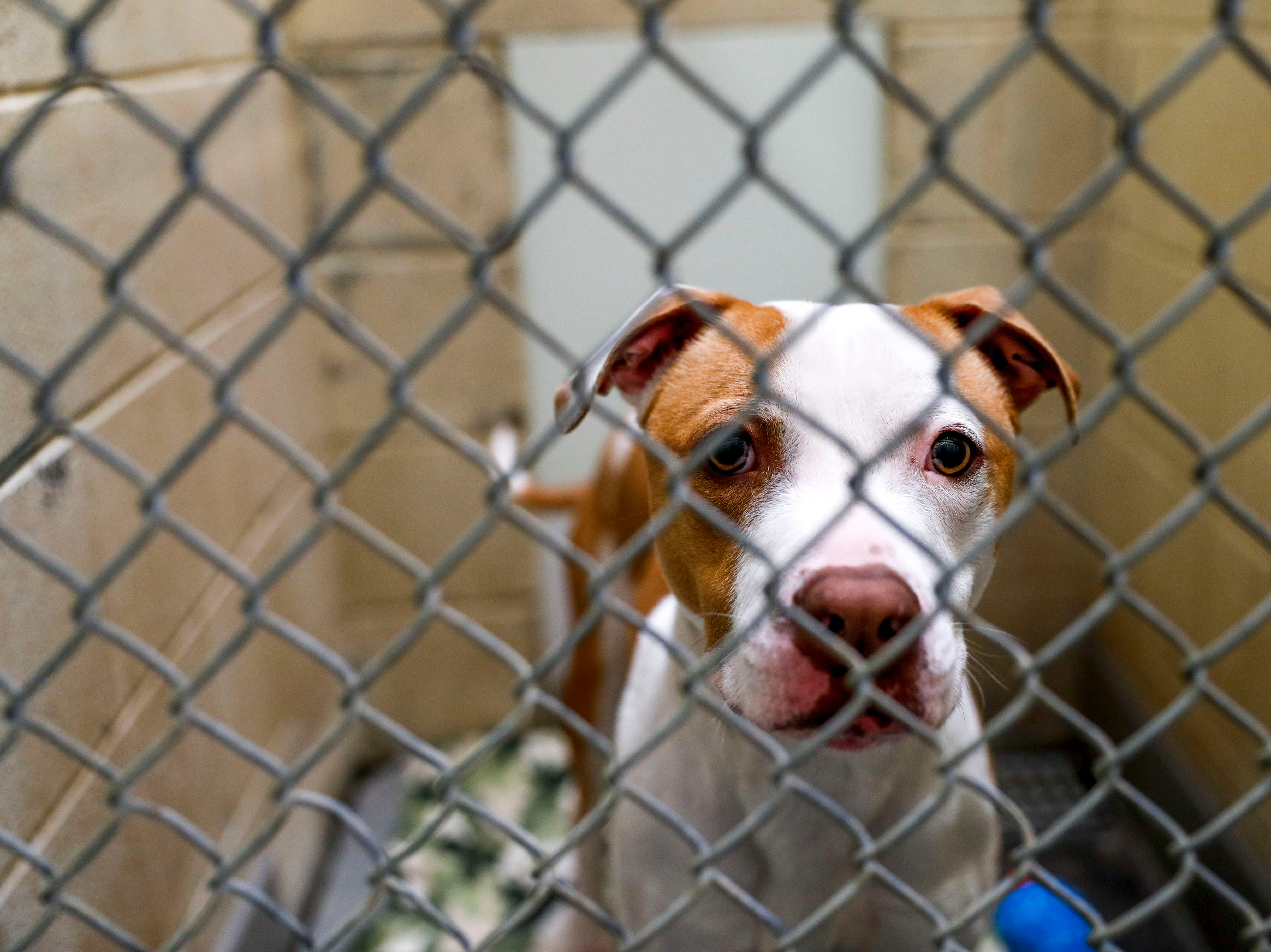 Peter Pan, a pit bull terrier, gazes out from his kennel at Montgomery County Animal Care and Control in Clarksville, Tenn., on Wednesday, March 13, 2019.