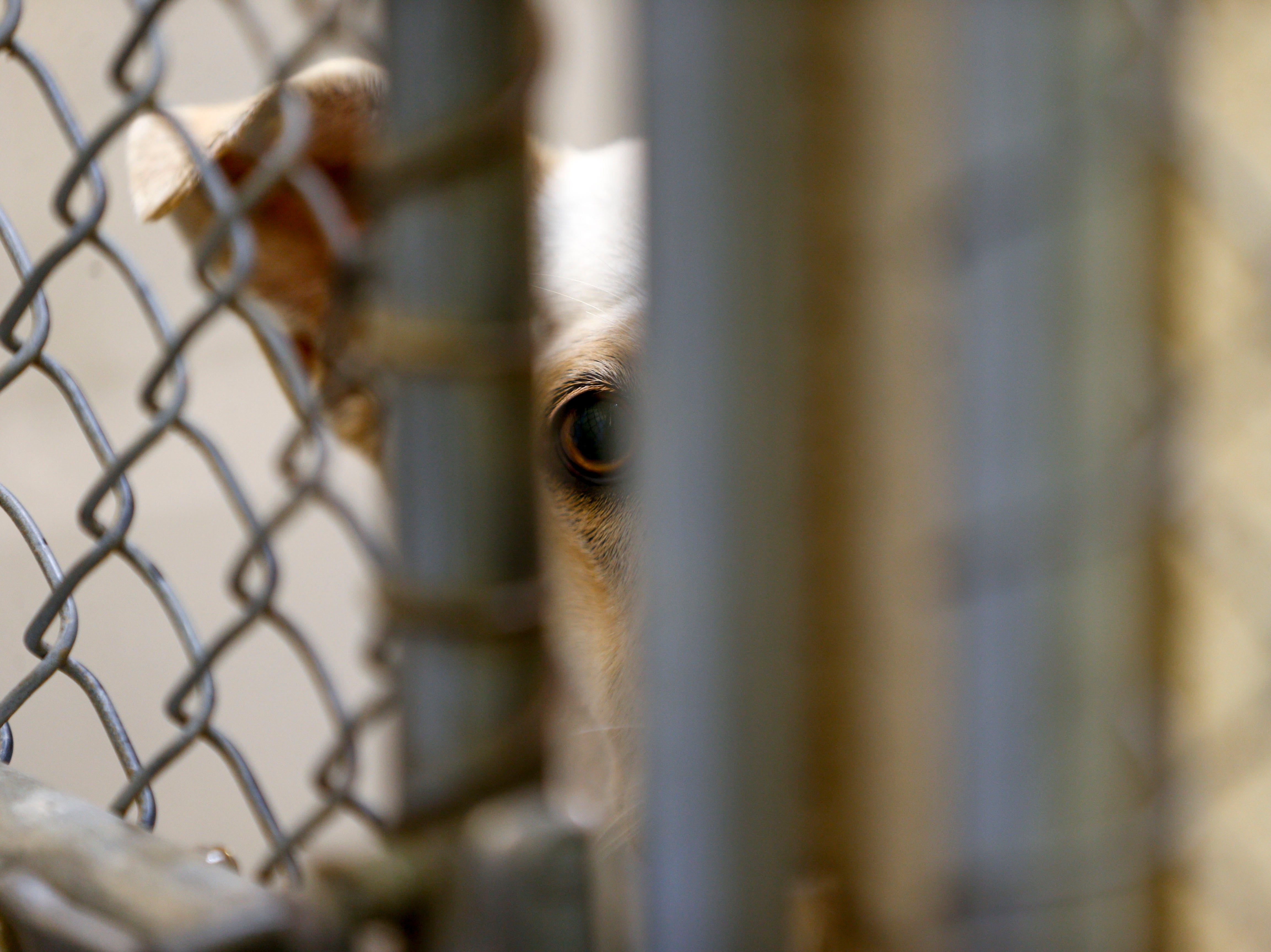 Lucy, a mixed breed, stares out through the caging of her kennel at Montgomery County Animal Care and Control in Clarksville, Tenn., on Wednesday, March 13, 2019.