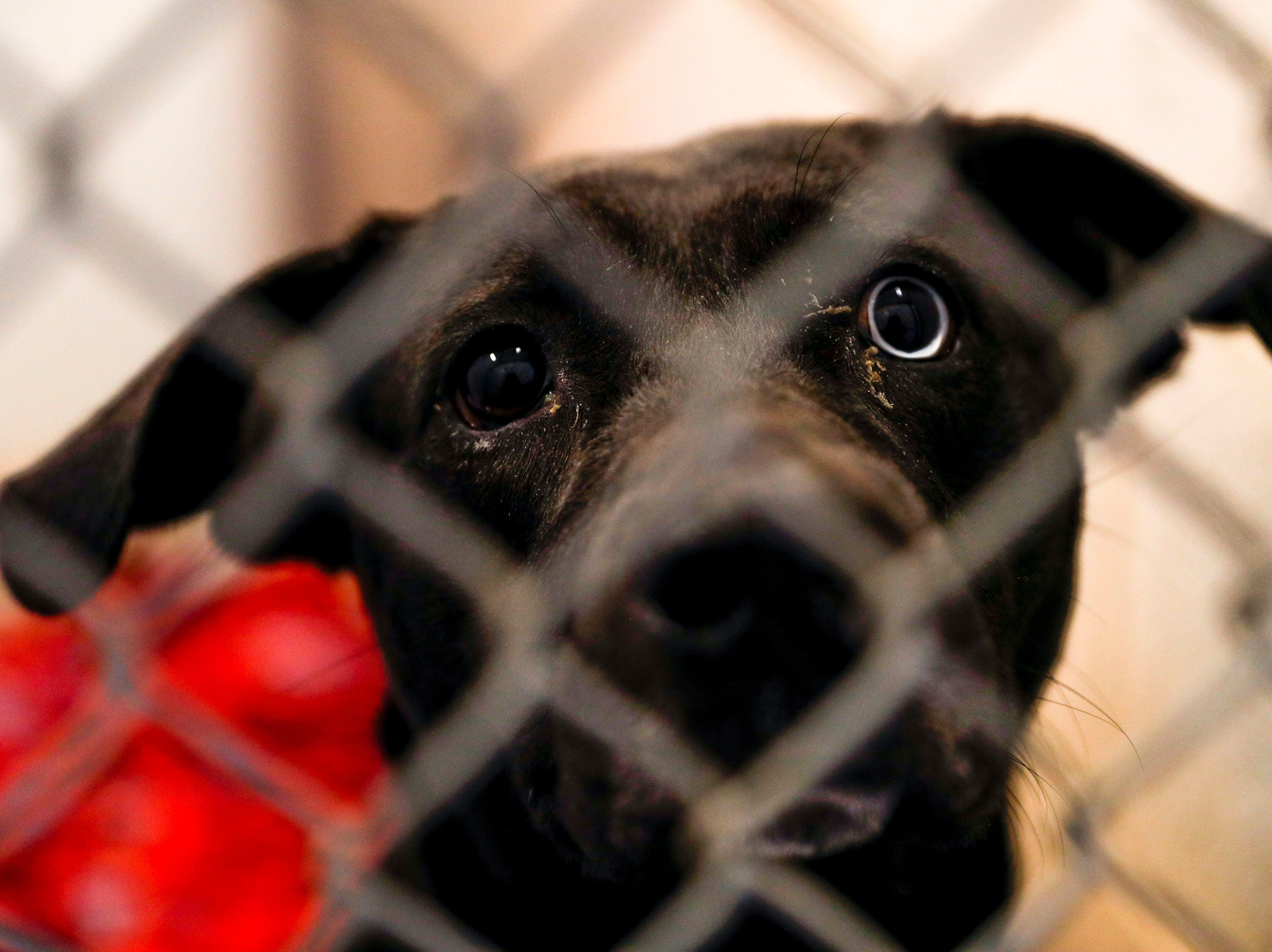 A Labrador retriever with different colored eyes gazes out their kennel in hopes of a new family to take them home at Montgomery County Animal Care and Control in Clarksville, Tenn., on Wednesday, March 13, 2019.