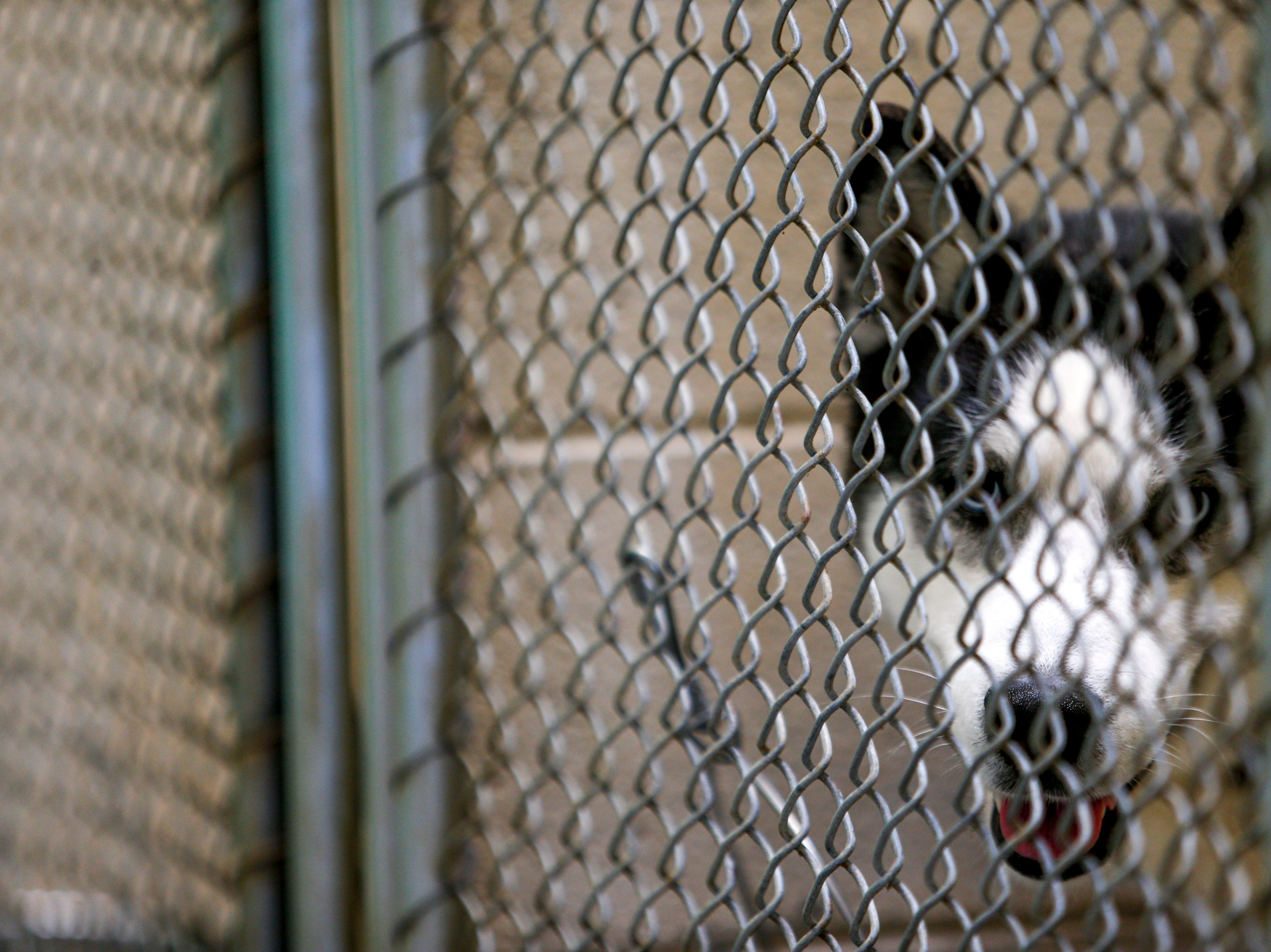 Thor, a husky, looks out of his kennel in hopes to find a new family at Montgomery County Animal Care and Control in Clarksville, Tenn., on Wednesday, March 13, 2019.