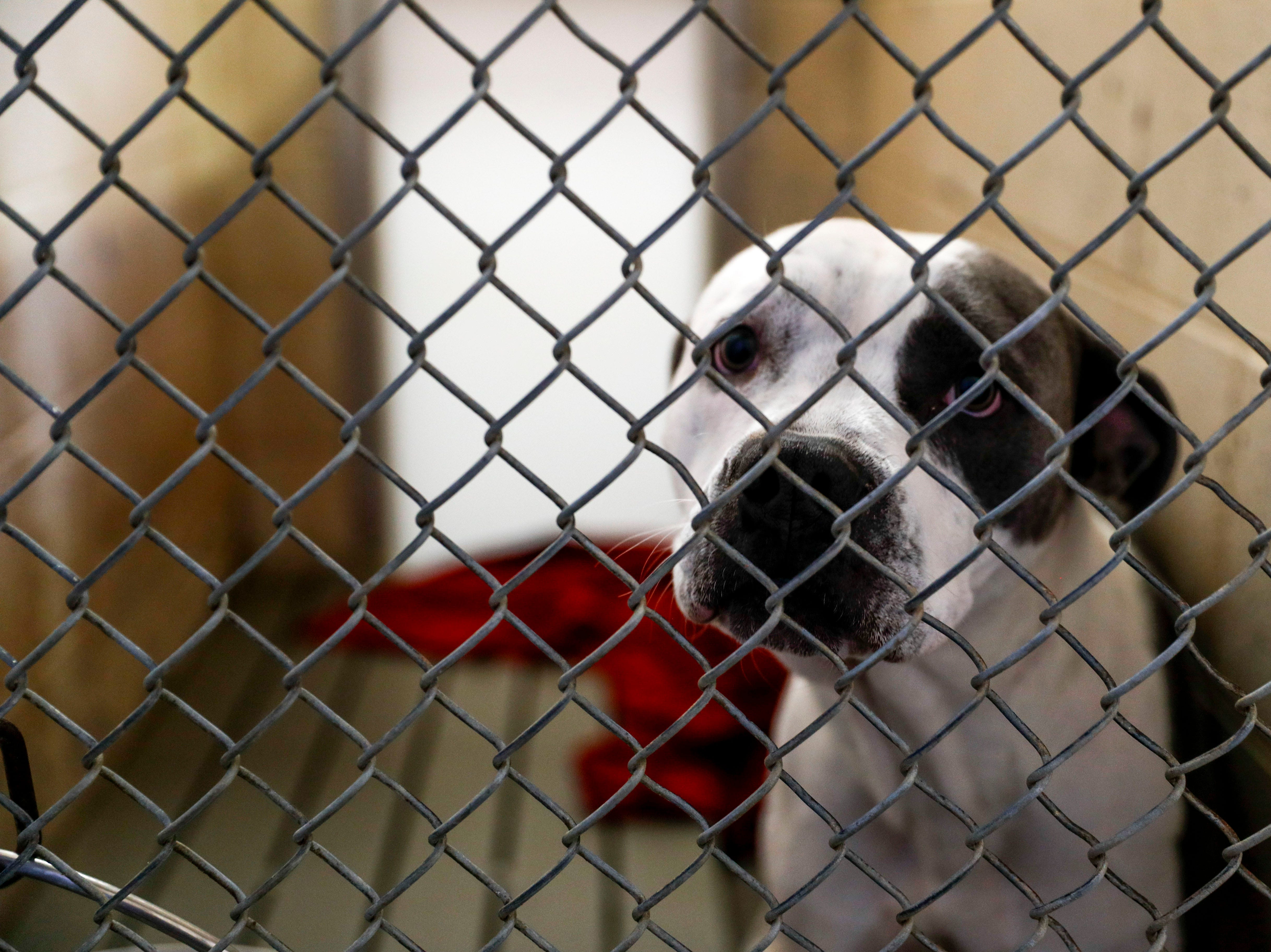 Newbie, a pit bull terrier, looks out of his kennel while waiting for a new owner at Montgomery County Animal Care and Control in Clarksville, Tenn., on Wednesday, March 13, 2019.