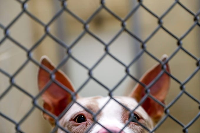 Dale, a pit bull terrier, perks his ears and smiles through the cage in his kennel while he waits for new owners to take hime home at Montgomery County Animal Care and Control in Clarksville, Tenn., on Wednesday, March 13, 2019.