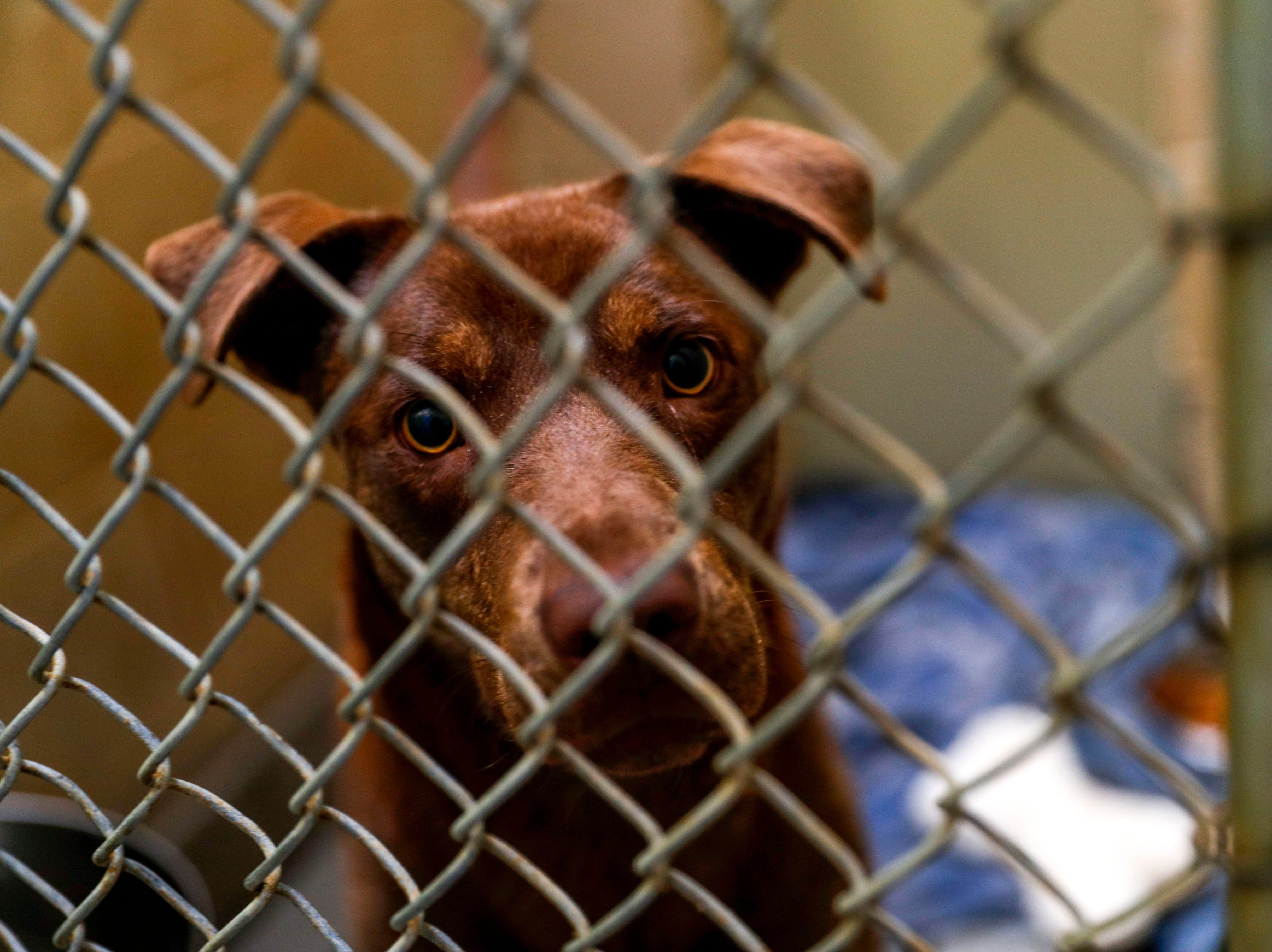Princess, a Labrador retriever, awaits an owner to take her home at Montgomery County Animal Care and Control in Clarksville, Tenn., on Wednesday, March 13, 2019.