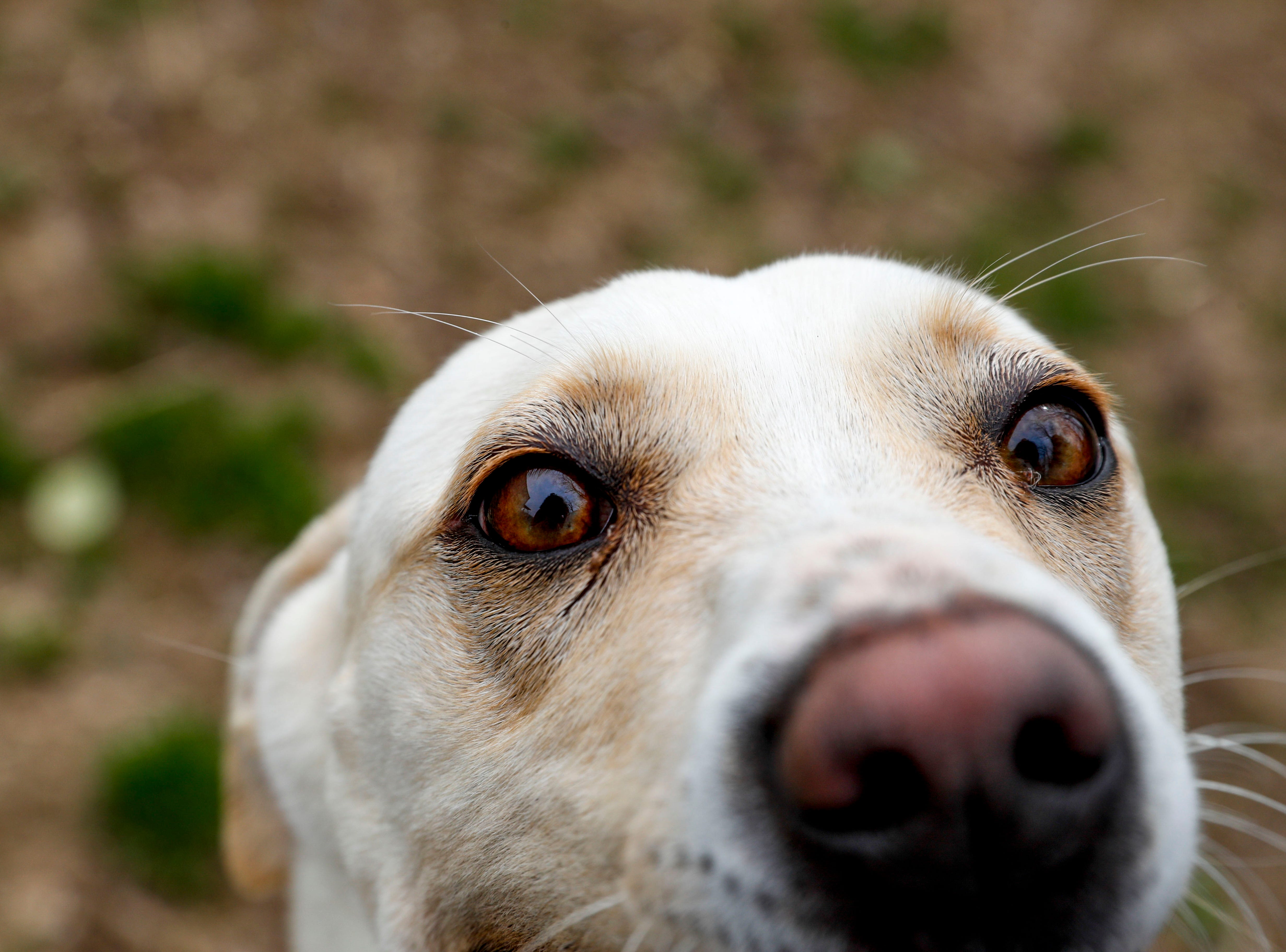 Lucy, a mixed breed, looks up into the camera while taking a break playing outside at Montgomery County Animal Care and Control in Clarksville, Tenn., on Wednesday, March 13, 2019.