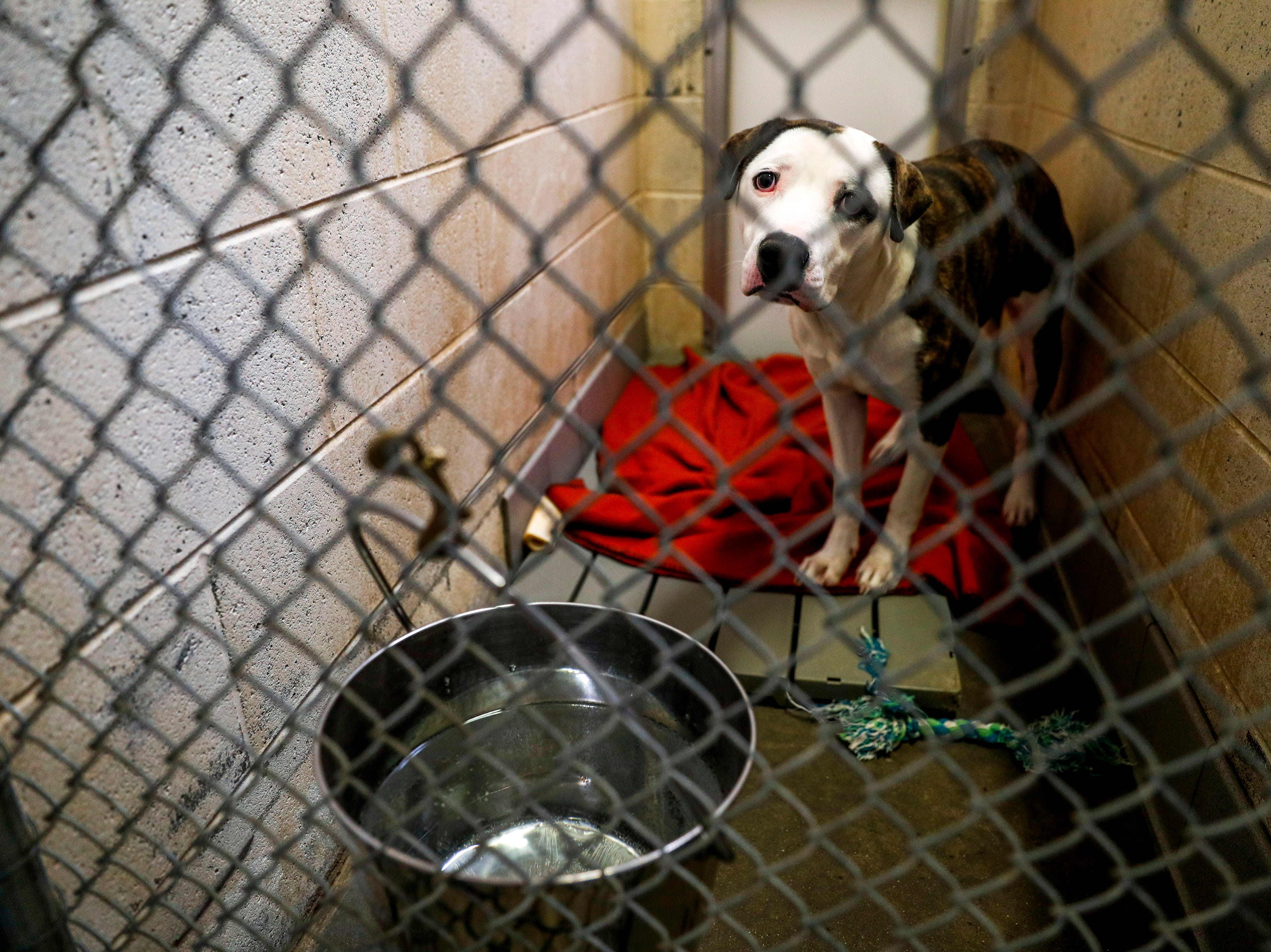 Randall, a mixed breed, sits in his kennel while waiting for a new owner to take him home at Montgomery County Animal Care and Control in Clarksville, Tenn., on Wednesday, March 13, 2019.