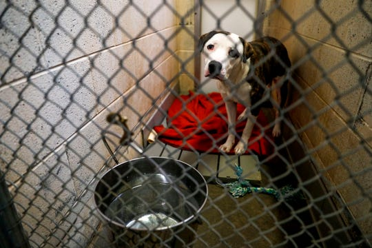 Randall, a mixed breed, sits in his kennel while waiting for a new owner to take him home at Montgomery County Animal Care and Control in Clarksville, Tenn.