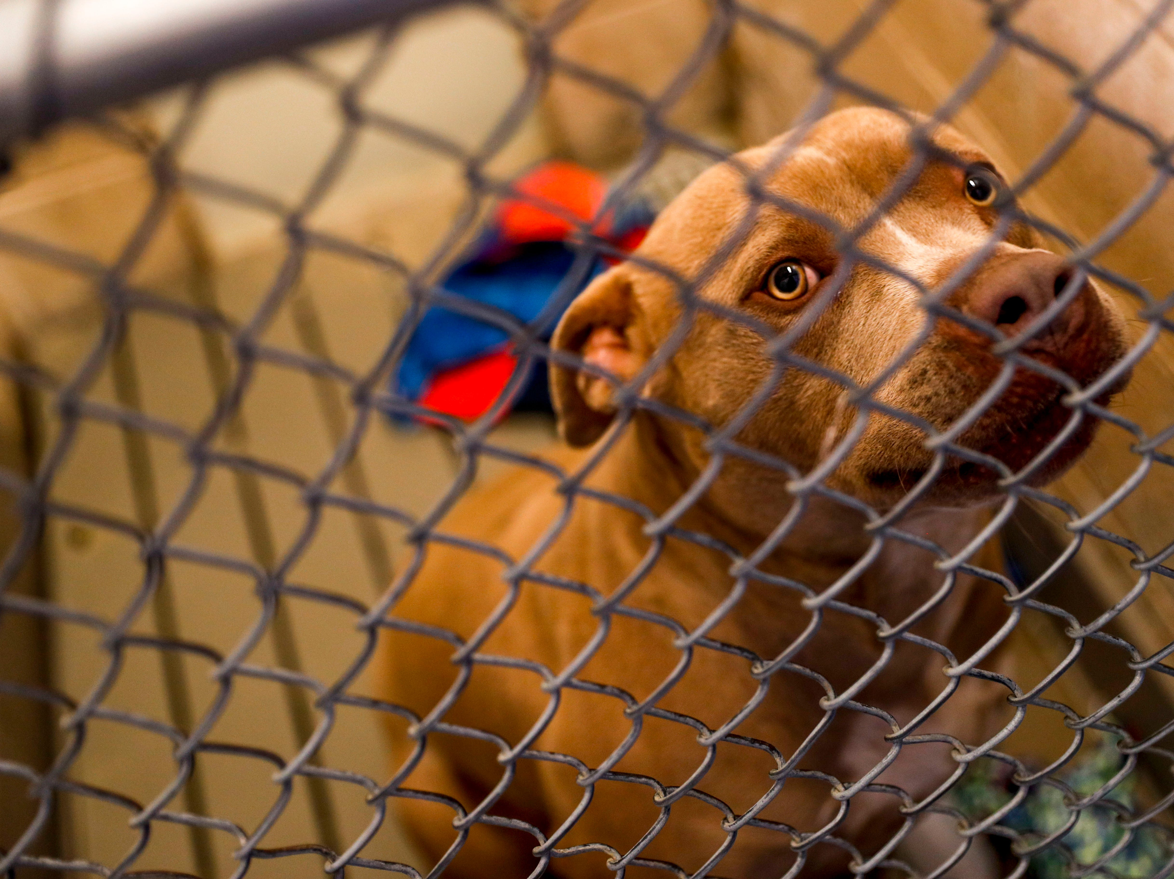 Gip, a pit bull terrier, gazes up at the camera while awaiting a family to take him home at Montgomery County Animal Care and Control in Clarksville, Tenn., on Wednesday, March 13, 2019.