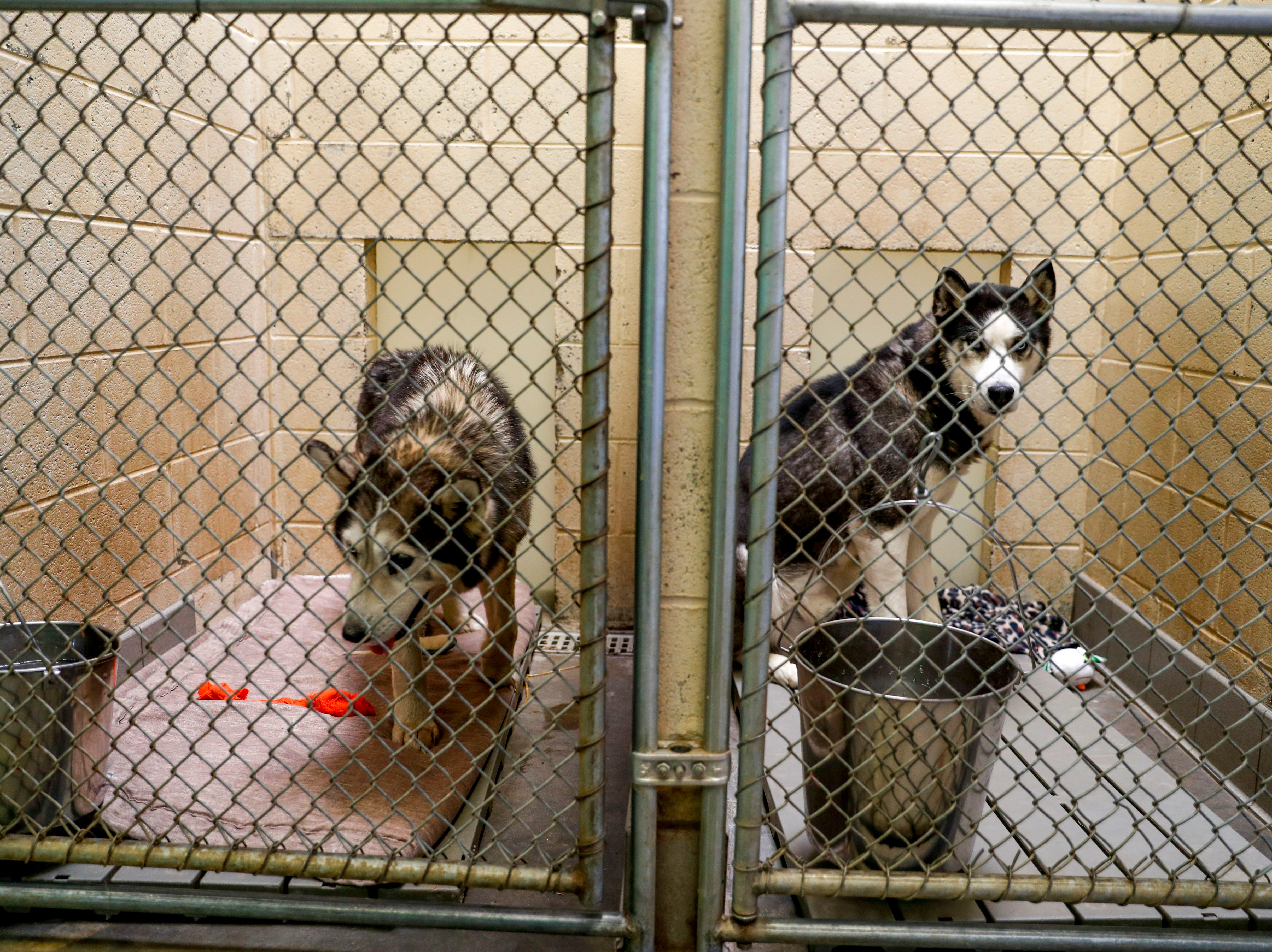 Thor, right, and a stray with no discernible name, both husky, await new owners to take them home at Montgomery County Animal Care and Control in Clarksville, Tenn., on Wednesday, March 13, 2019.