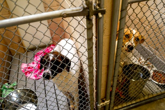 Ozzy, a mixed retriever, left, and Buddy, a mixed breed, right, look out their cages awaiting new owners to take them home at Montgomery County Animal Care and Control in Clarksville, Tenn., on Wednesday, March 13, 2019.