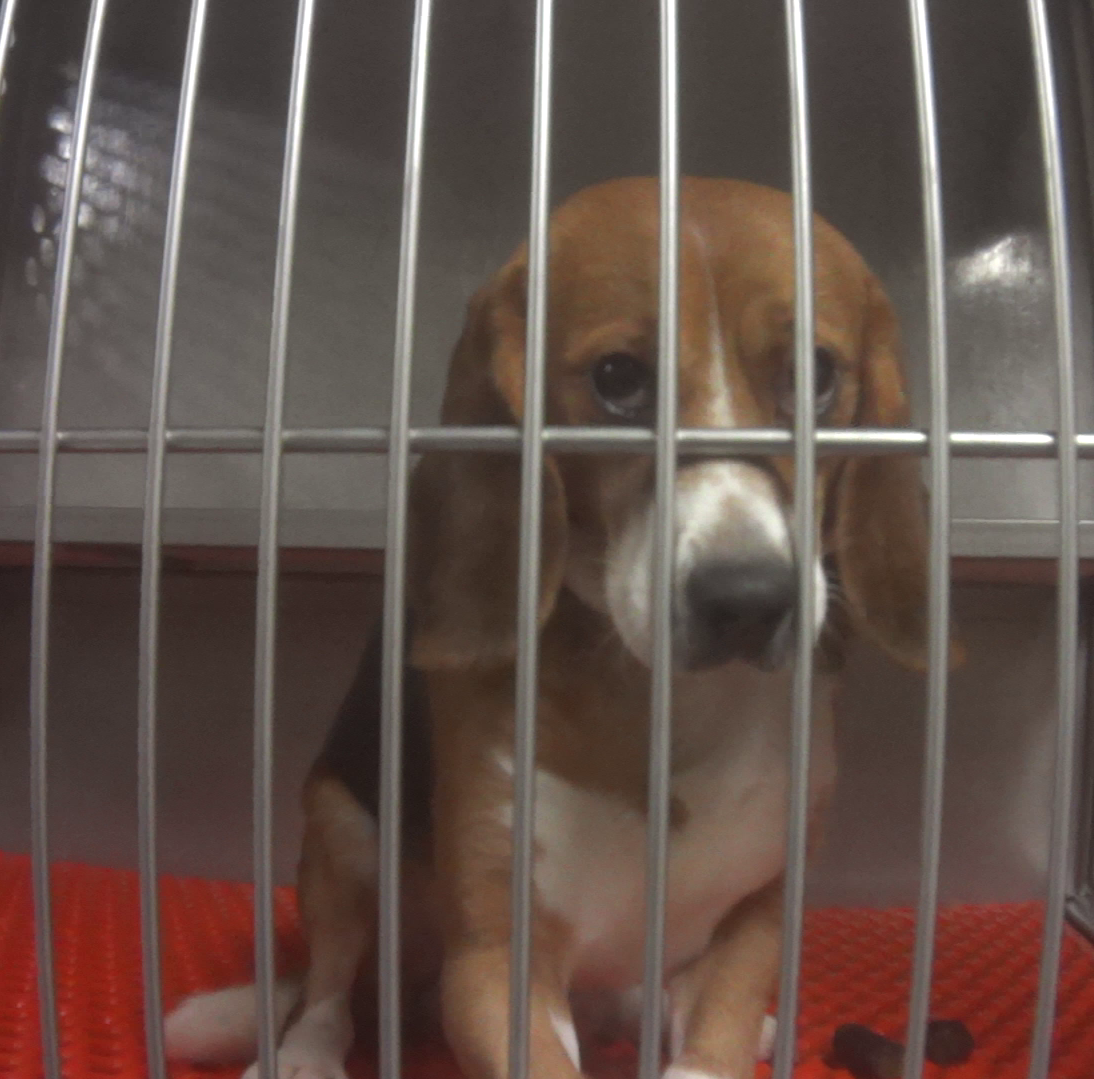 Humane Society: Beagles force-fed fungicides at Michigan lab should be released