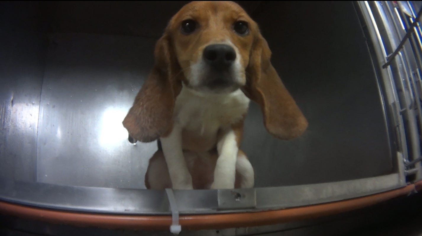 Lab beagles to be released to Michigan Humane Society