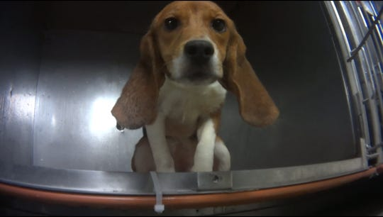 A beagle used in Dow's one-year pesticide toxicity test looks out from its cage. Dow said it is searching for alternatives to animal testing.
