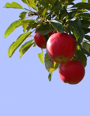 Apple trees will be thrive with the right pruning.