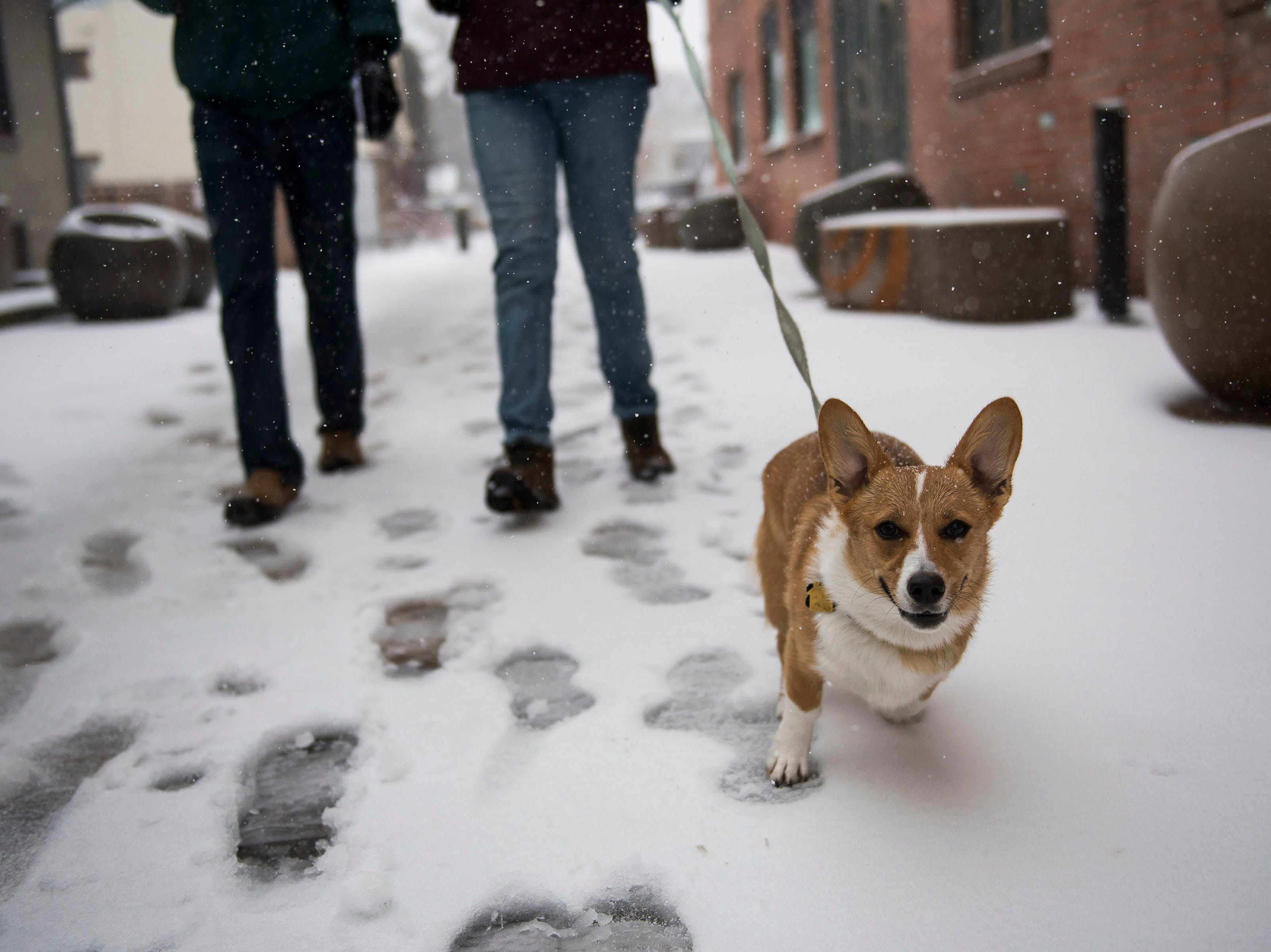 1-year-old corgi Pancake goes on a walk with Renata Daniels, right, and Luke Hampton, left, during a snowstorm on Wednesday, March 13, 2019, in Fort Collins, Colo.