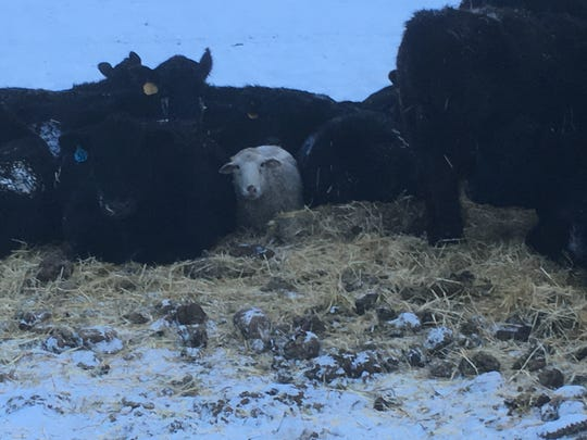 You know it is cold when one of Lisa Schmidt's sheep snuggles with her cows -- too cold for newborn calves. Ranchers can't control the weather during calving, but at least they can be reimbursed for lost livestock.