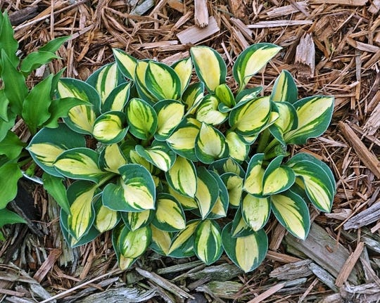 Pure Heart hostas are a miniature variety, perfectly suited for small gardens.