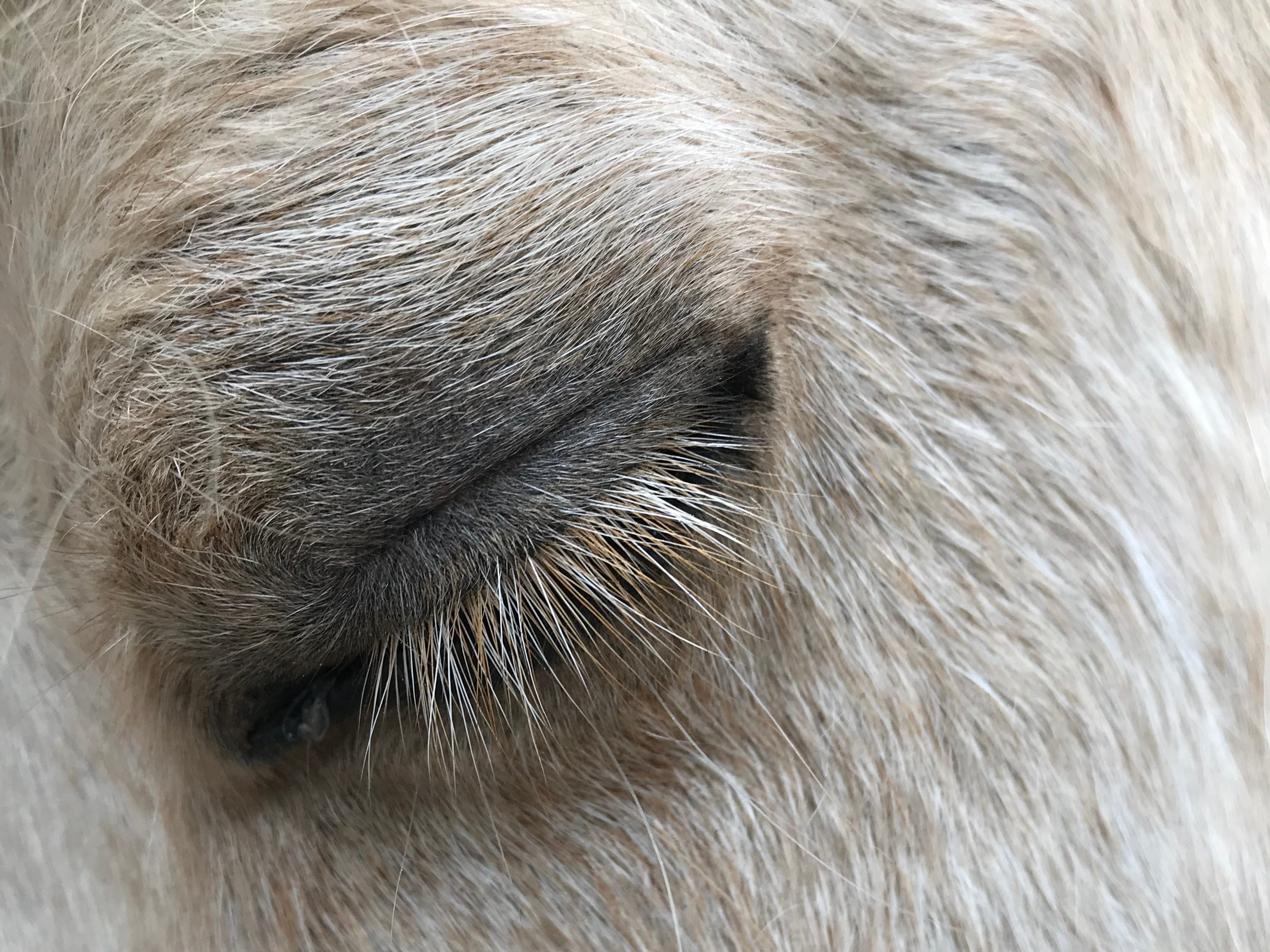 Willow the miniature horse rests after running several jumps in the front yard of her home in the Fondren neighborhood of Jackson. Willow, a 12-year-old palomino, will soon be leaving her home with owner Becky Potts, where she has resided for 9 years, and will move to Corona, New Mexico. Wednesday, March 13, 2019.