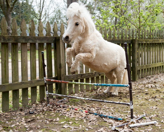 Willow, a miniature horse, gracefully approaches a jump in the front yard of her home with Don and Becky Potts in the Fondren neighborhood of Jackson. A resident of the neighborhood for nine years, the 12-year-old palomino is being relocated to Corona, New Mexico to avoid allergies affecting her health. Wednesday, March 13, 2019.