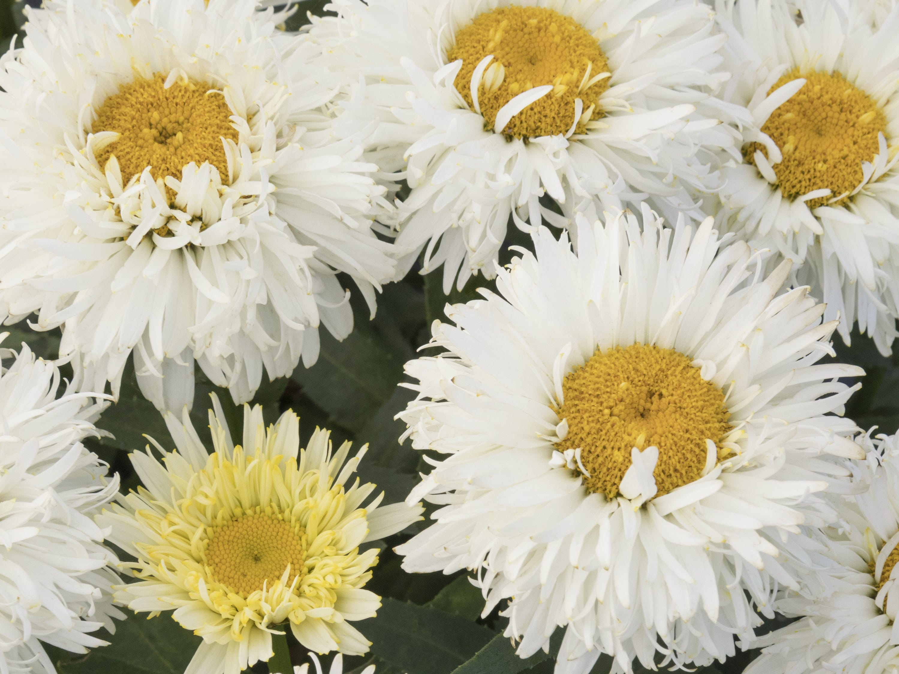 Kings Crown Shasta Daisy is good for borders, containers, cutting gardens, mass plantings, rock gardens and small spaces.