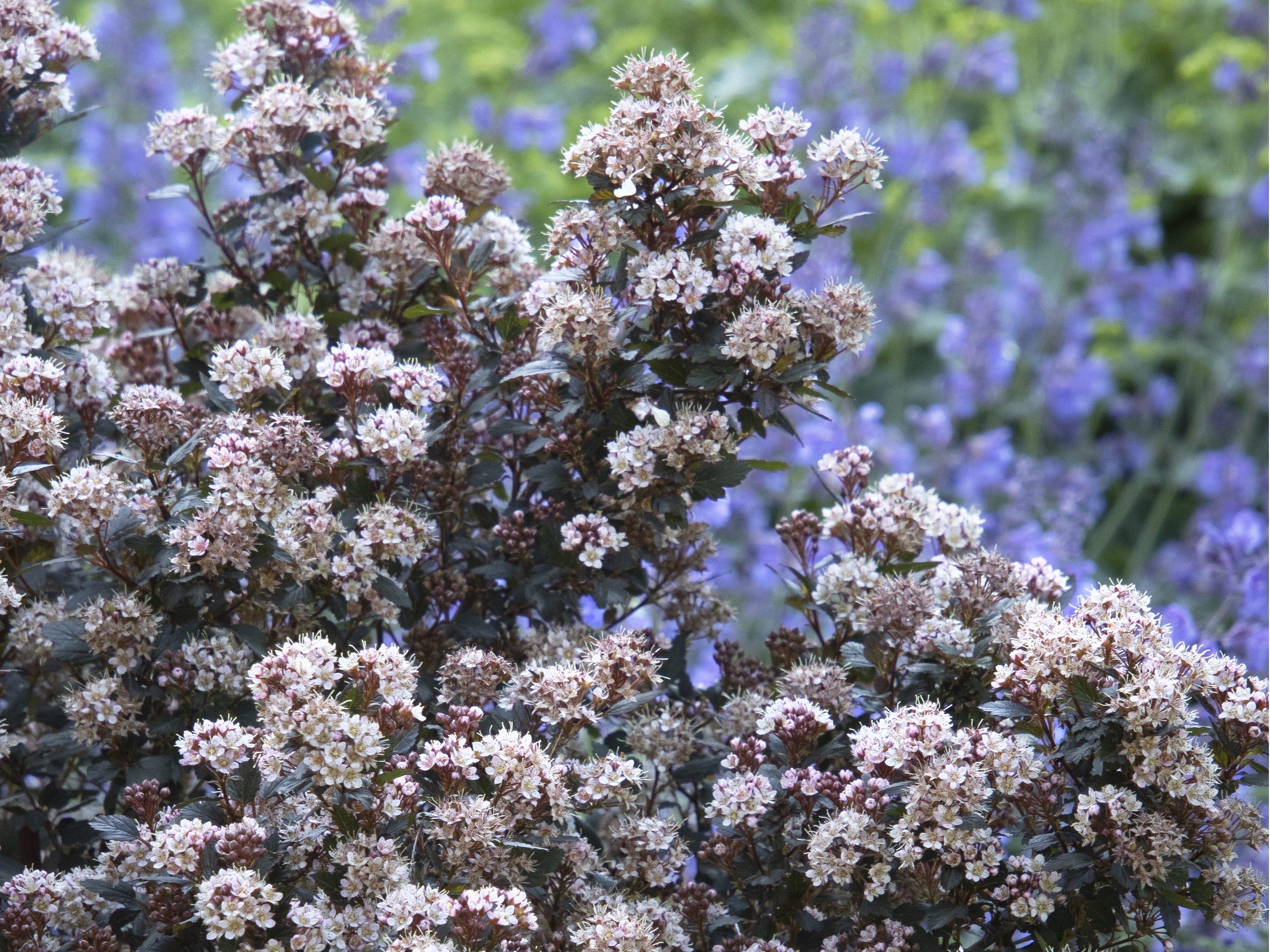 Little Joker Ninebark is a dwarf shrub that gets only 3 to 4 feet tall.