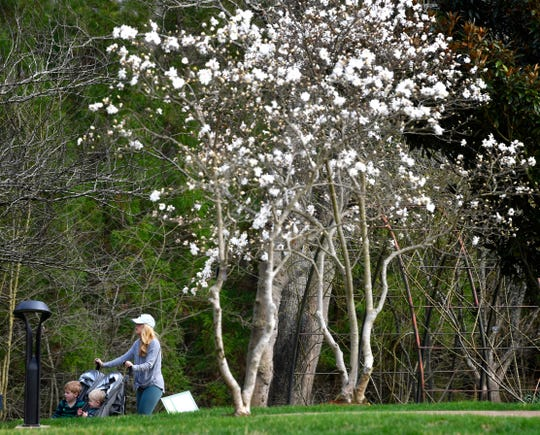 The star magnolia brightens the pathway at Cheekwood, which is offering half-price admission Saturday and Sunday.