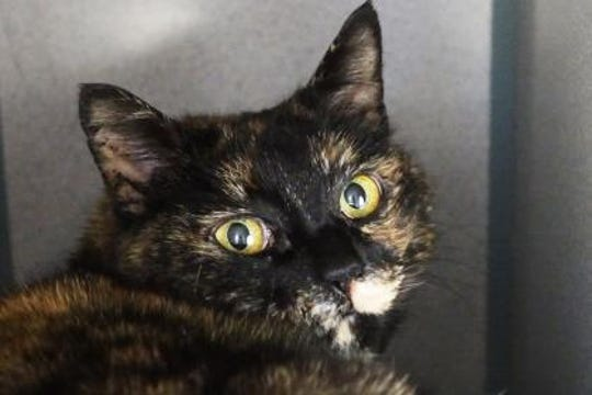 Dawn is a 3-year-old Tortoiseshell.