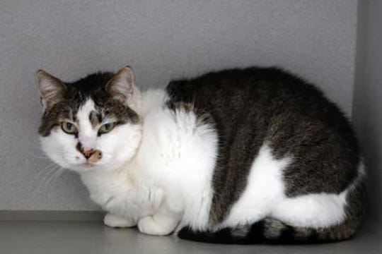 Rollie is a 5-year-old neutered male who really enjoys being an indoor cat.