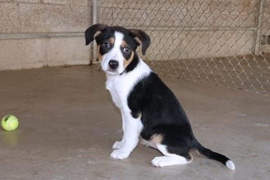 C.P is an adorable 2 1/2 month old Border Collie mix.