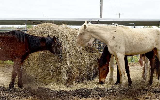 Nine emaciated horses are recovering at St. Landry Parish after they were found in Acadia Parish.