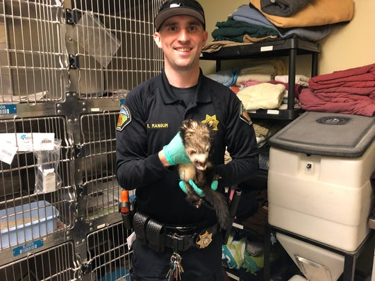 Riverside County Animal Services officer Eric Mangum holds a ferret abandoned at Banning City Hall Tuesday.