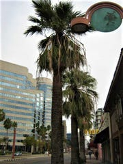 Just a few of the palm trees planted along Central Avenue in Phoenix.