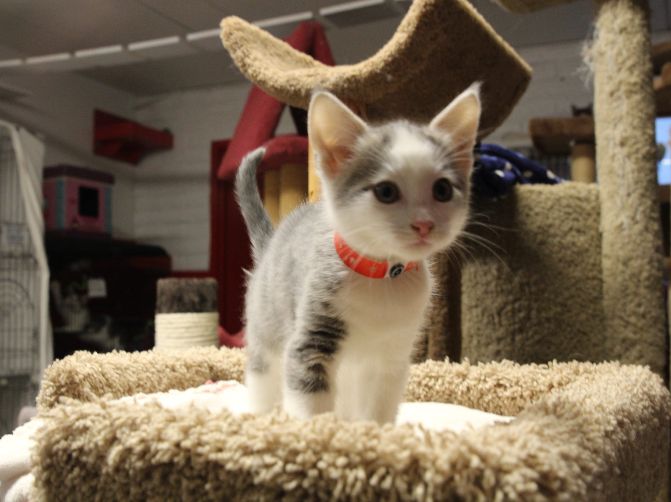 """An adoptable kitten at Home """"Fur"""" Good plays on the structures in the shelter's cat room."""