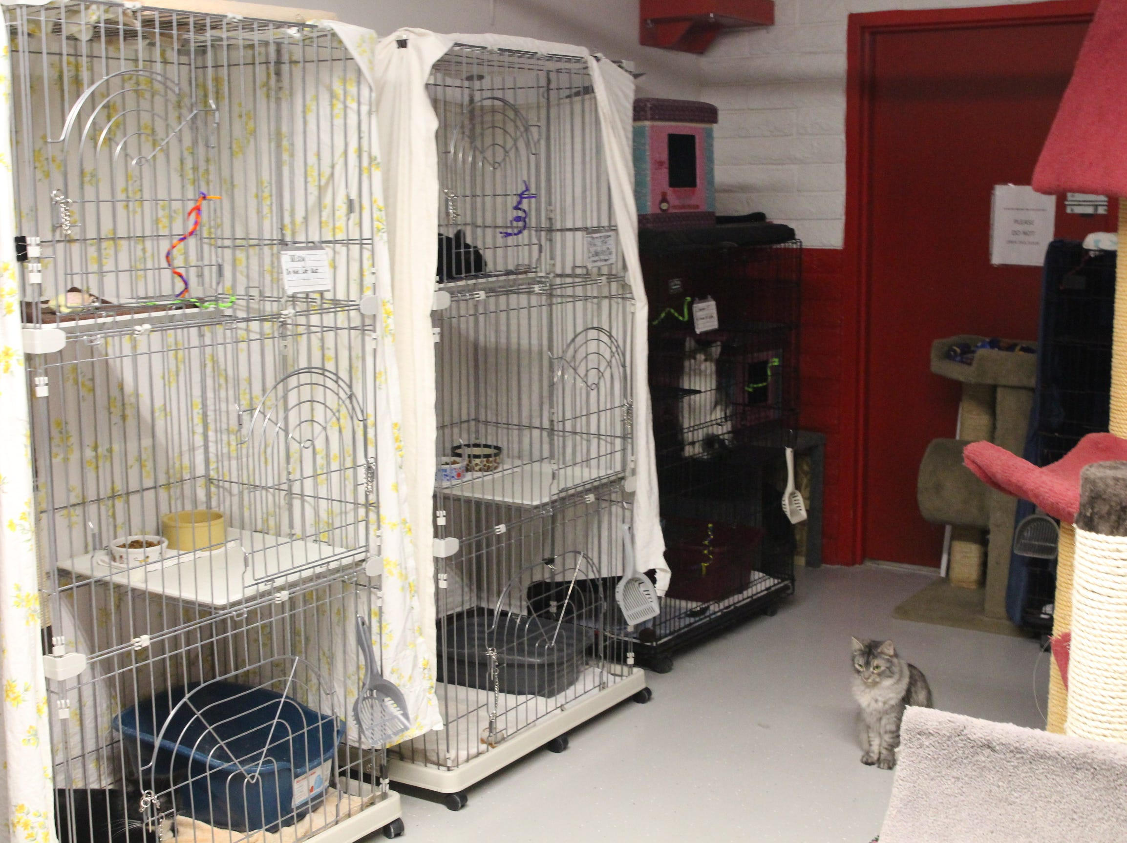 """One of Home """"Fur"""" Good's adoptable cats sits in the shelter's cat room."""