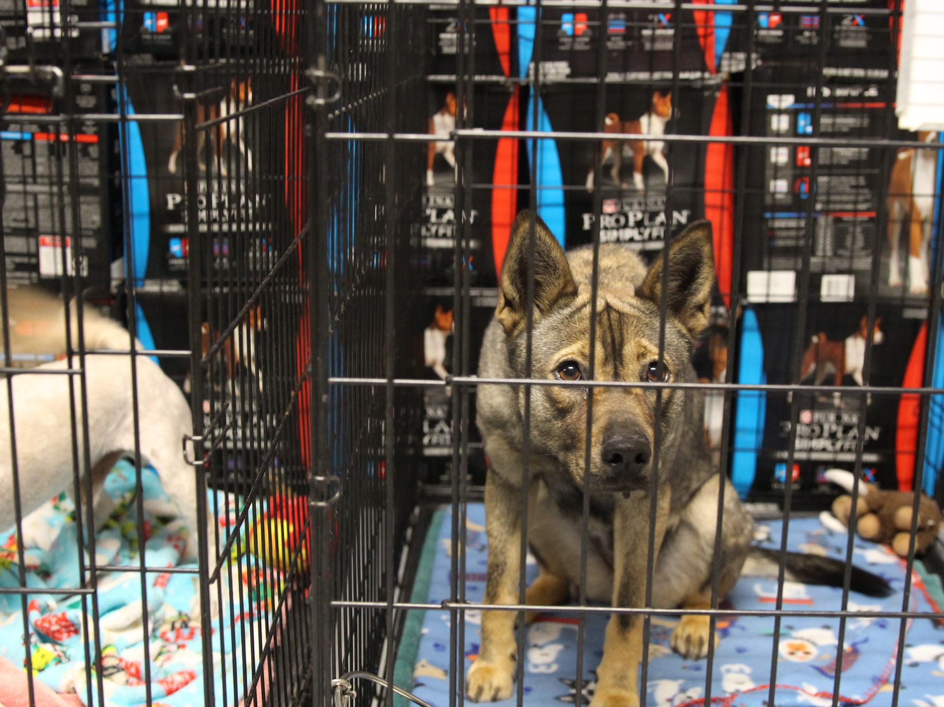 """An adoptable dog sits in a Home """"Fur"""" Good kennel waiting for a treat from a volunteer."""