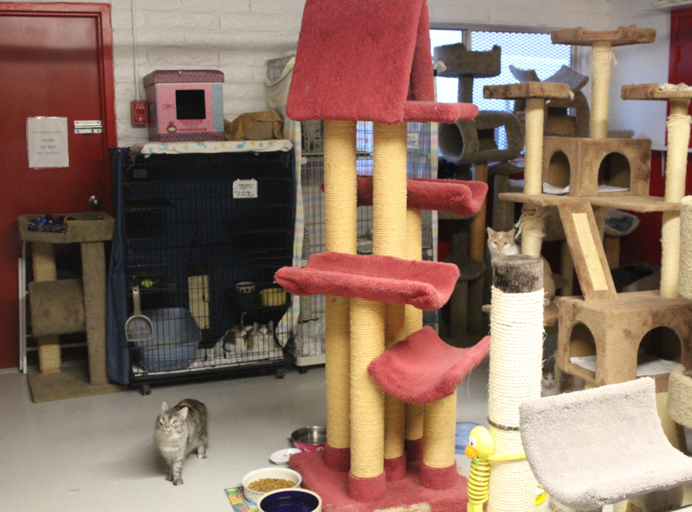 """Cats for adoption play in Home """"Fur"""" Good's cat room."""