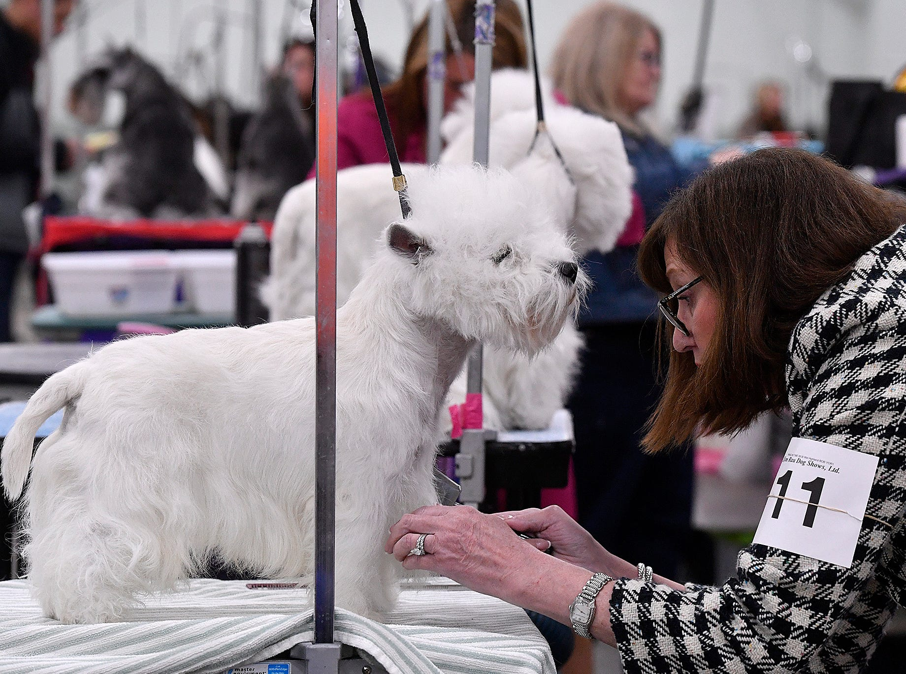 Cindy Ladutko of Greenville DE gets Jamie, as west highland white terrier ready to show during the annual Celtic Classic Dog Show, Wednesday, March 13, 2018.