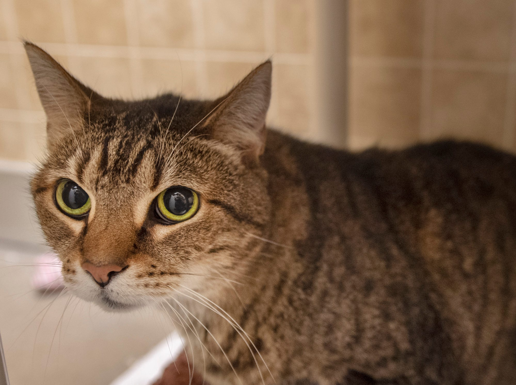 My name is Caddos I'm a 12 year-old brown tabby who was brought to the York County SPCA because my owner moved and couldn't afford to take me along. I'm very sweet, but timid until I get to know you.