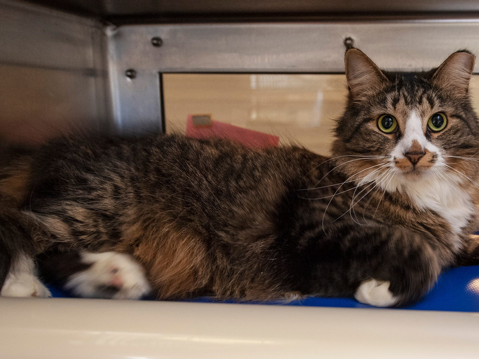 My name is Sheba and I was brought into the York County SPCA because my owner is sick and can no longer care for me. I'm shy at first, but will warm up to my humans and be very cuddly.