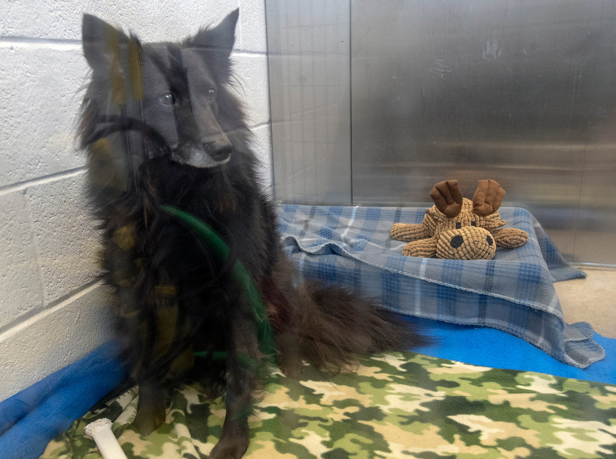 I'm Bass and I'm only 4 years old mixed sheltie. My owner got cancer and is unable to care for me. I have lived with cats but I'm a timid boy and may do best with older children.