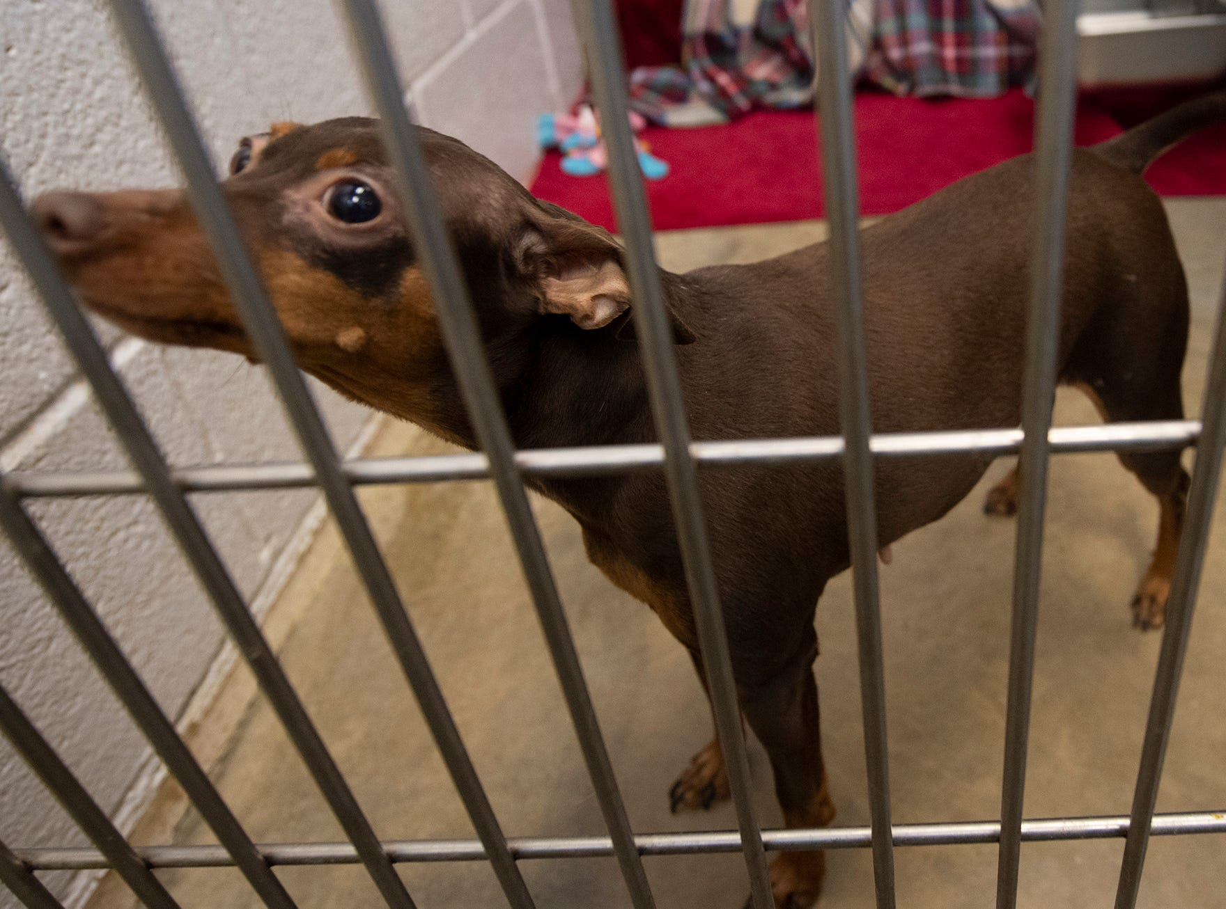 My name is Icy and I'm a Miniature Pinscher. I was brought to the shelter because because my owner's landlord would not allow me to stay. I lived with another dog and children and did well. I am very possessive with my food and my toys so someone with a little experience with this would really help me.